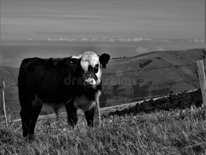 Skämtsam blyg kalv på kullarna arkivfoto