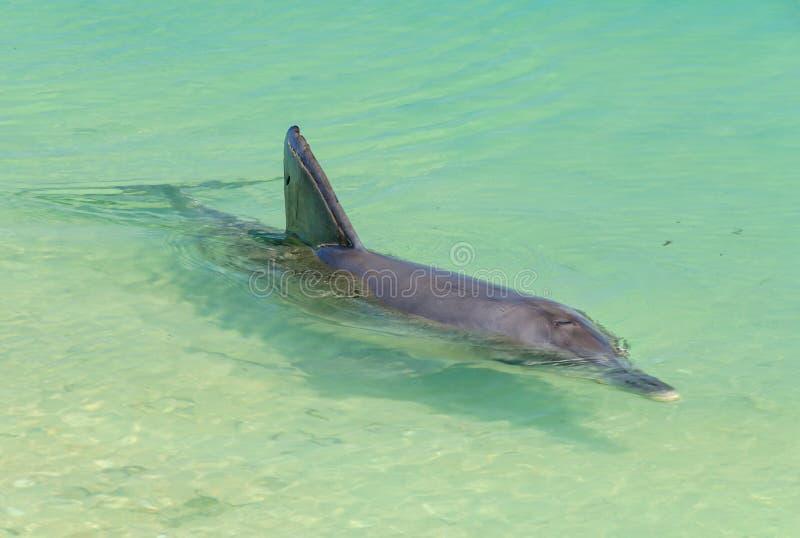 Skämtsam delfin - apa Mia fotografering för bildbyråer