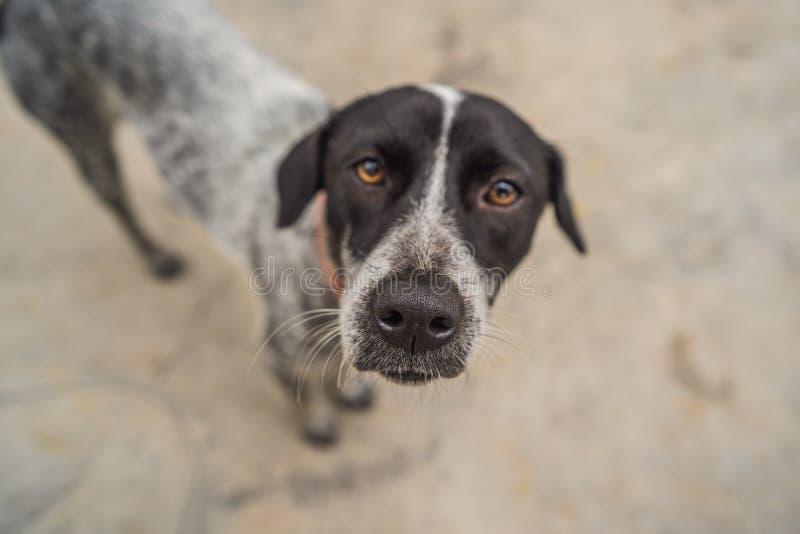 Skämtsam hundframsida, svart vitt och brunt, med näsan nästan kameralinsen, fokus på framsidan, closeup, med svart och arkivbild
