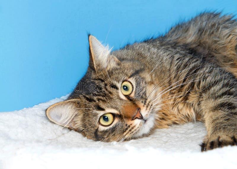 Skämtsam Maine Coon katt som når in mot tittaren royaltyfri bild