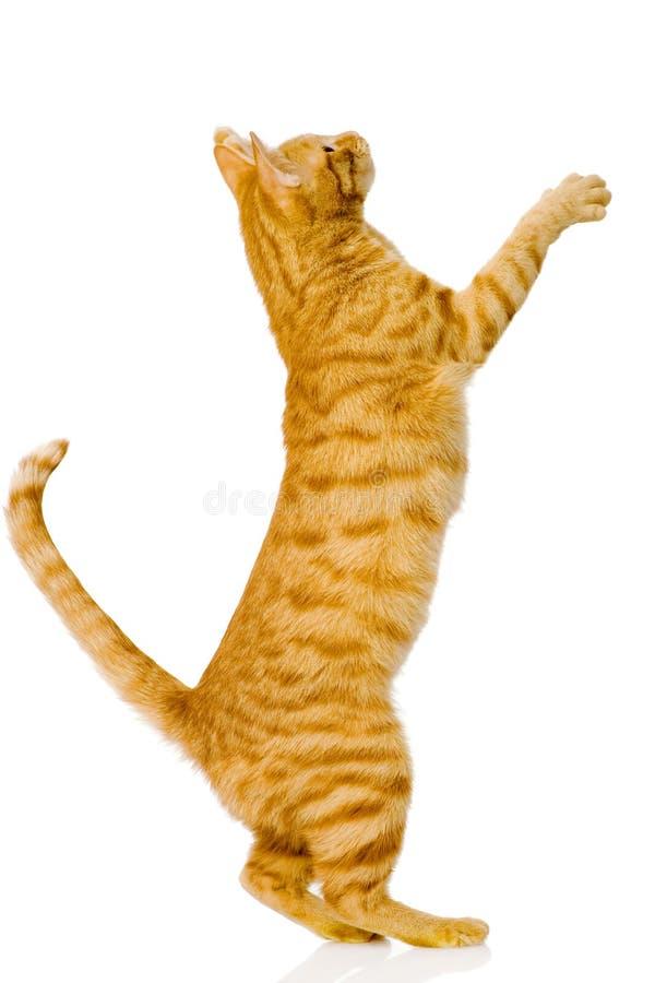 Skämtsam orange katt På vitbakgrund royaltyfria bilder