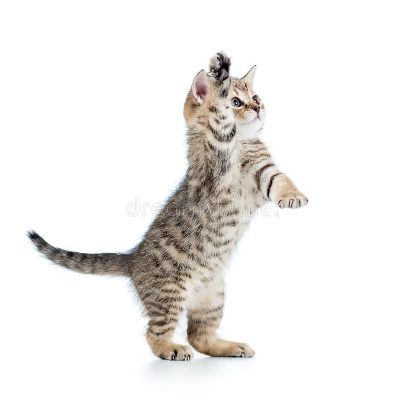 Skämtsam skotsk kattunge som isoleras på vit arkivbilder