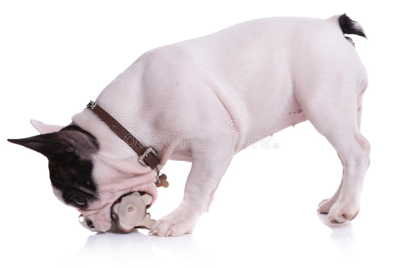 Skämtsam valphund för fransk bulldogg som tuggar på en leksak royaltyfri fotografi