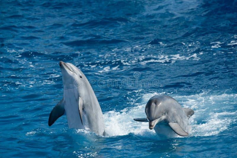skämtsamma delfiner fotografering för bildbyråer