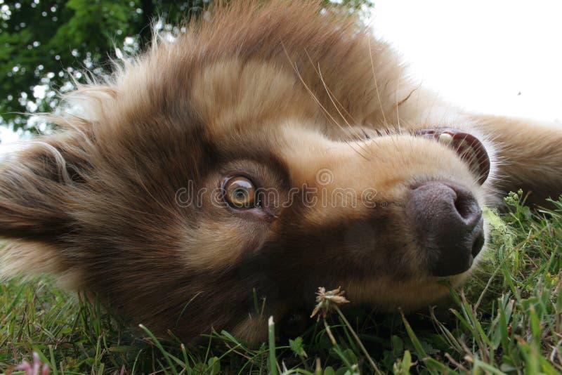 Skämtsamma finlandssvenska Lapphund royaltyfri fotografi