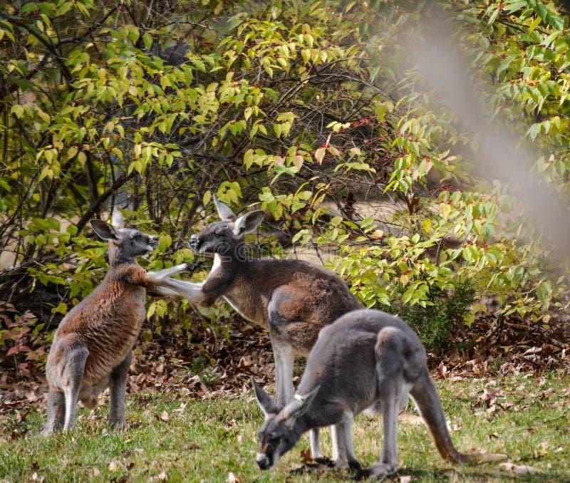 Skämtsamma kängurur fotografering för bildbyråer