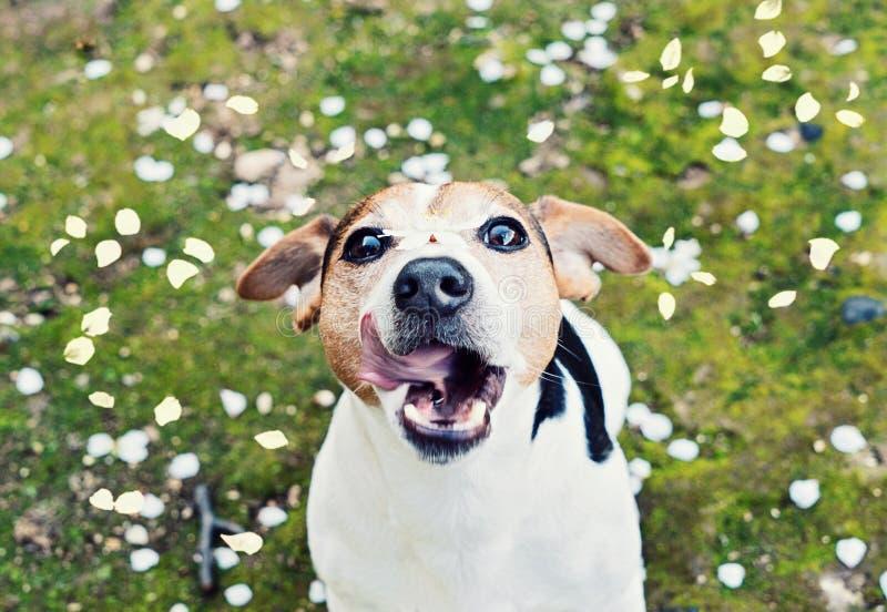 Skämtsamma lås för den barnstålarrussell terriern skvallrar körsbärsröda kronblad fotografering för bildbyråer