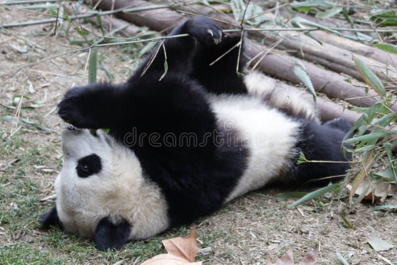 Skämtsamma Panda Bear i Chengdu, Kina royaltyfri foto