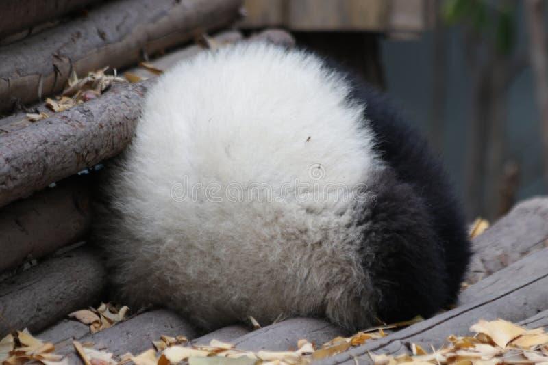 Skämtsamma Panda Bear i Chengdu, Kina fotografering för bildbyråer