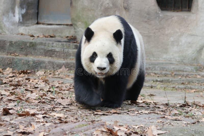 Skämtsamma Panda Bear i Chengdu, Kina royaltyfri bild