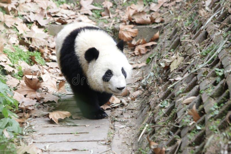 Skämtsamma Panda Bear i Chengdu, Kina royaltyfri fotografi