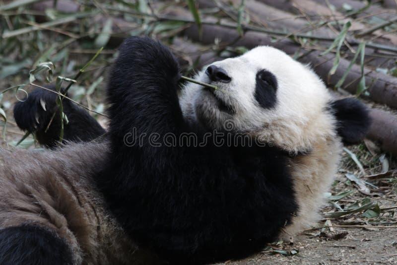 Skämtsamma Panda Bear i Chengdu, Kina arkivbild