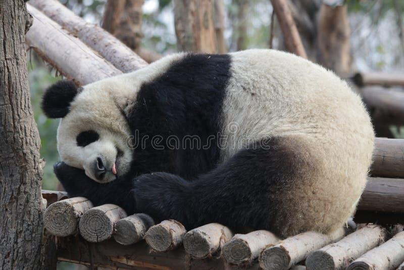Skämtsamma Panda Bear i Chengdu, Kina arkivfoton
