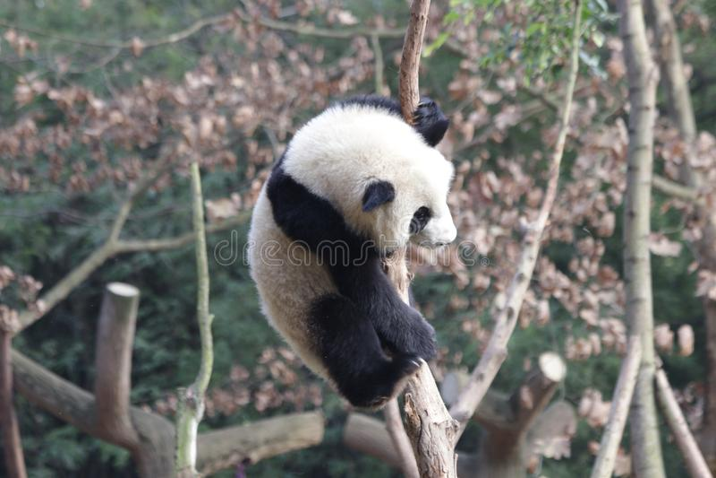 Skämtsamma Panda Bear på trädet, Chengdu, Kina royaltyfri foto