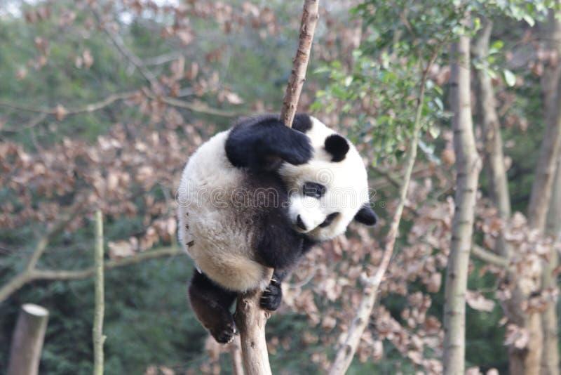 Skämtsamma Panda Bear på trädet, Chengdu, Kina royaltyfri bild