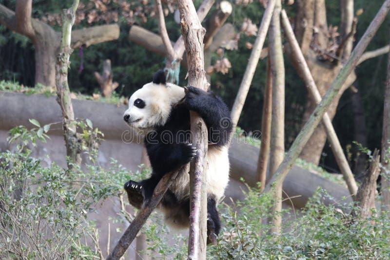 Skämtsamma Panda Bear på trädet, Chengdu, Kina royaltyfri fotografi
