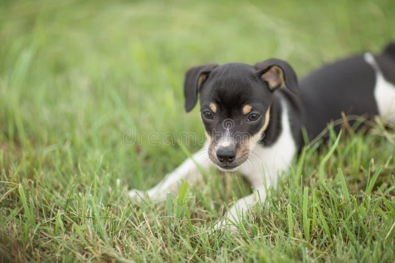 Skämtsamt tjalla den Terrier valpen fotografering för bildbyråer