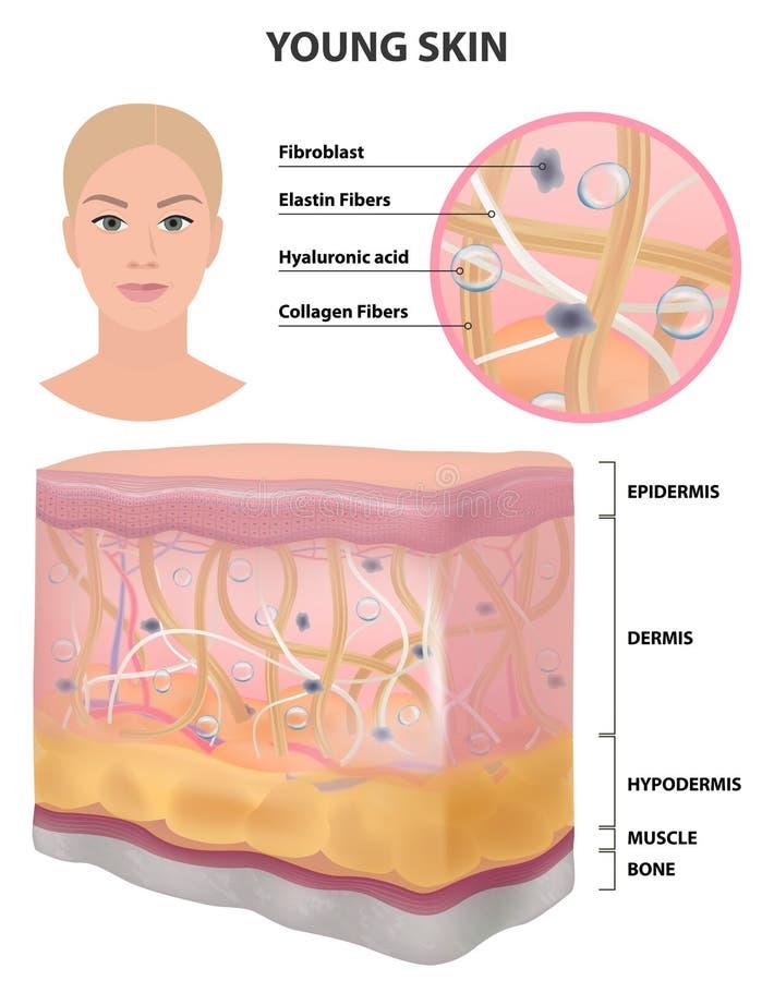 Skór kobiet elastyczny, szczegółowy rysunek młody zdrowy, kosmetologia wektor ilustracji