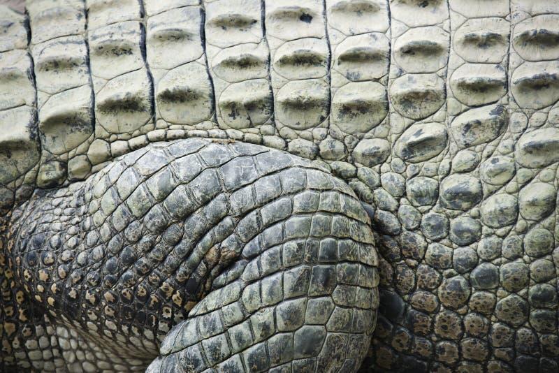 skóra krokodyla obraz royalty free