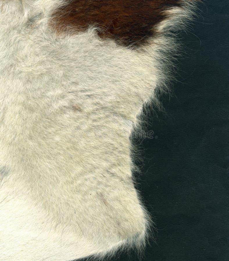 skóra wołowa obraz royalty free