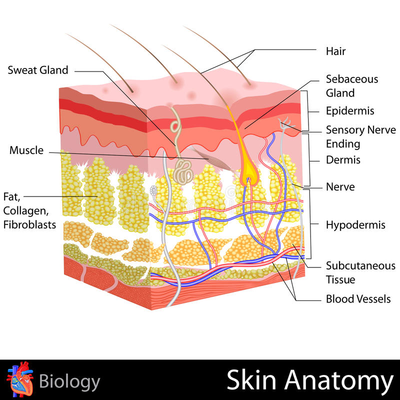 Skóry anatomia royalty ilustracja