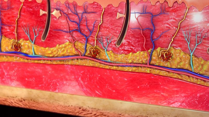 Skóry anatomia obrazy stock