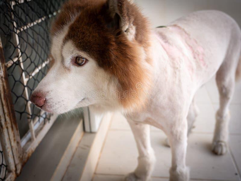 Skóry choroba Syberyjskiego husky pies zdjęcie stock