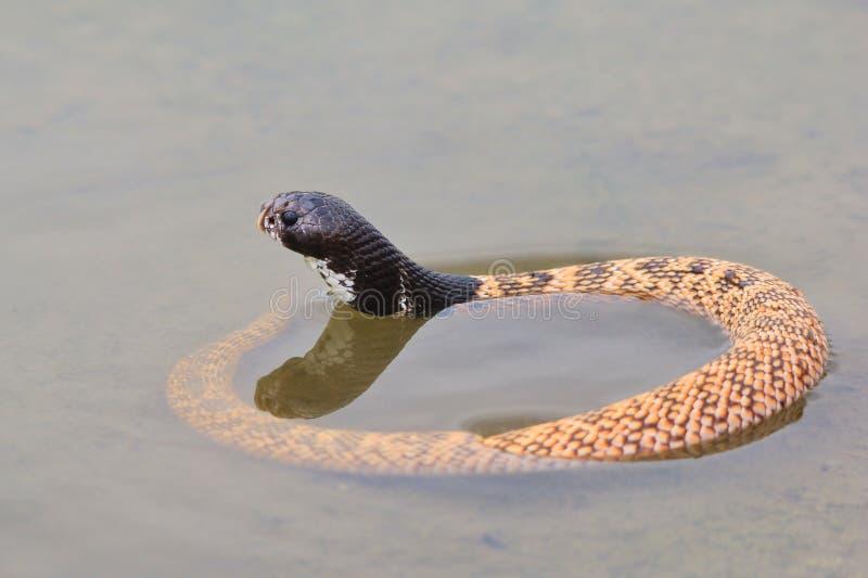 Sköld-nosed Svart-hövdad kobra - giftormbakgrund - sällsynta ormar arkivfoto
