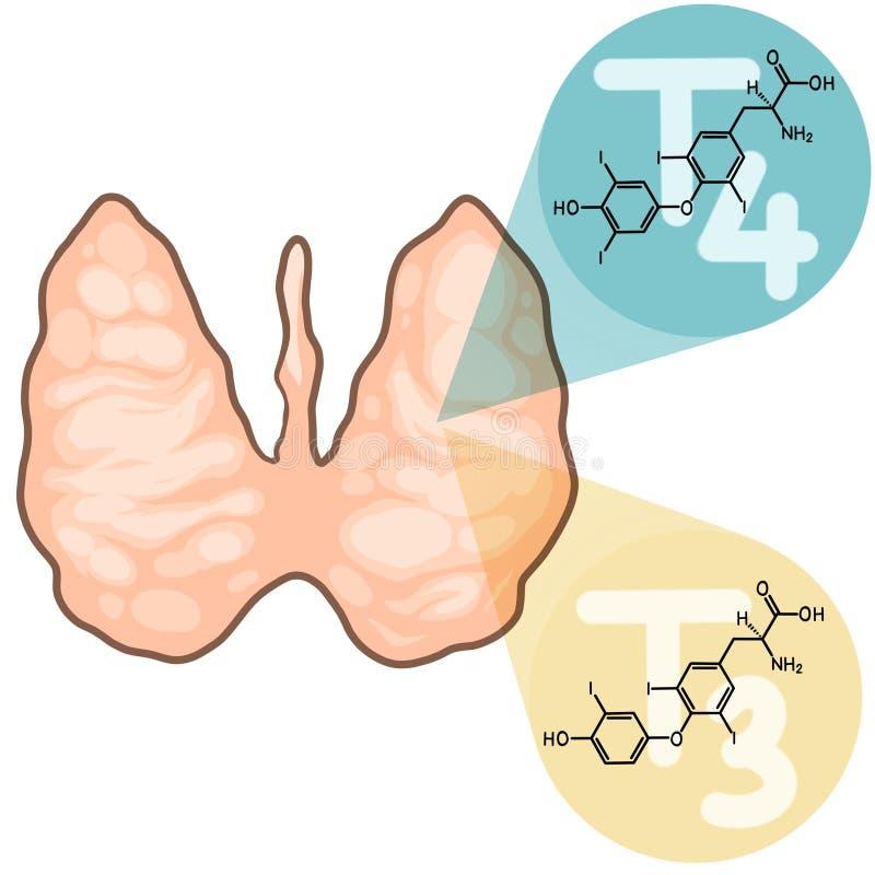 Sköldkörtelhormoner och livsfunktioner stock illustrationer
