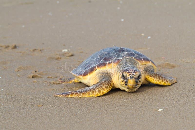 sköldpadda för carettaloggerheadhav arkivfoton