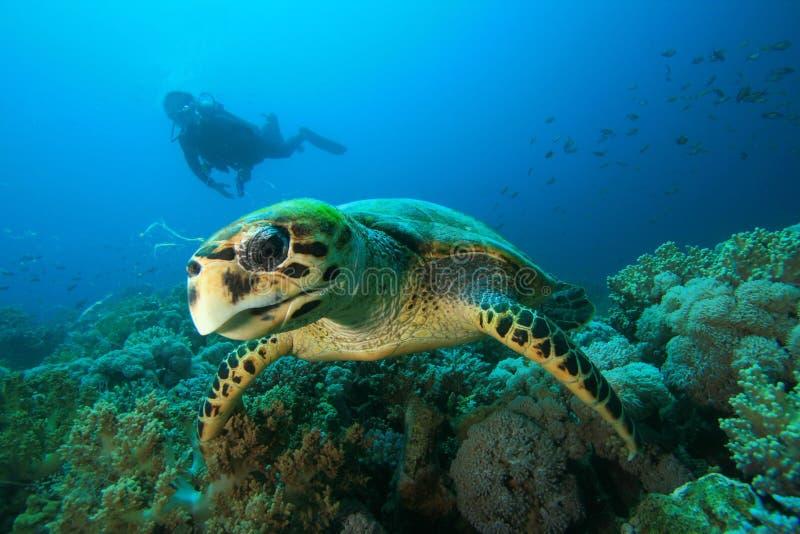 sköldpadda för dykarehawksbillscuba arkivfoto
