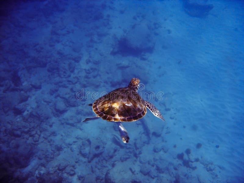 sköldpadda för grönt hav royaltyfri fotografi