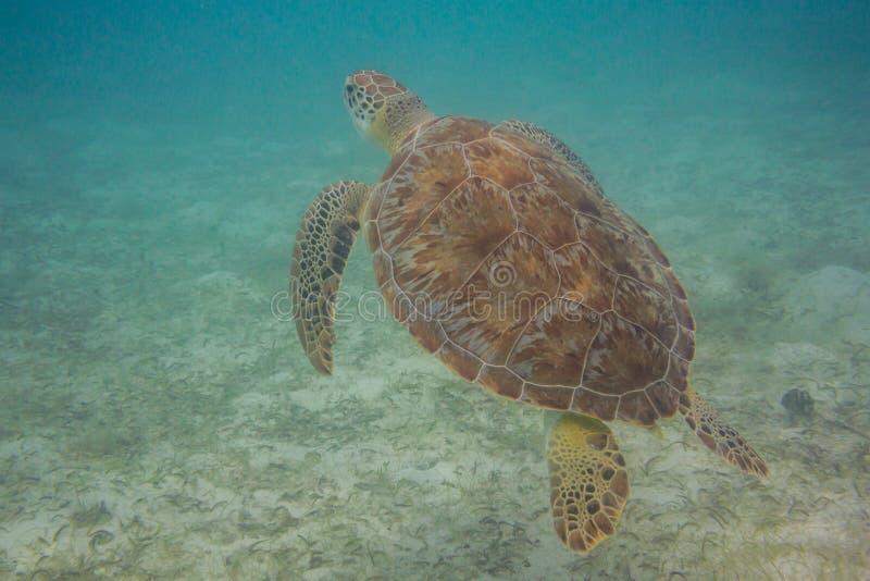 sköldpadda för grönt hav för luft kommande upp arkivfoton
