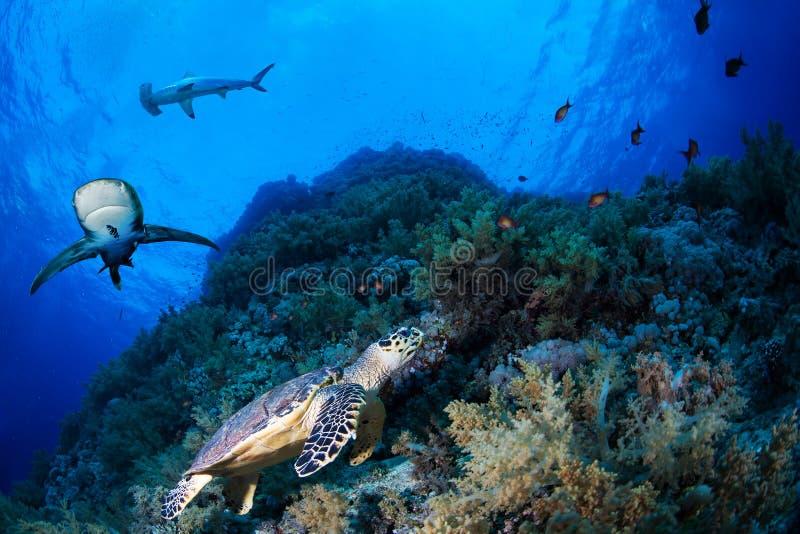 Sköldpadda för grönt hav i en rev med hajar royaltyfri fotografi