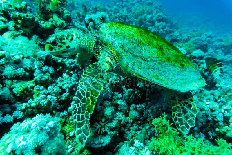 Sköldpadda för grönt hav med sunburst i bakgrund under vatten royaltyfri foto