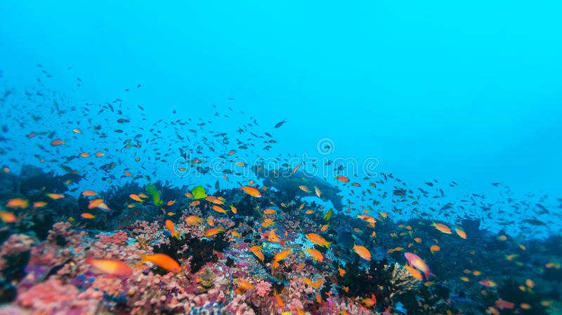 Sköldpadda för grönt hav nära Coral Reef, Maldiverna fotografering för bildbyråer