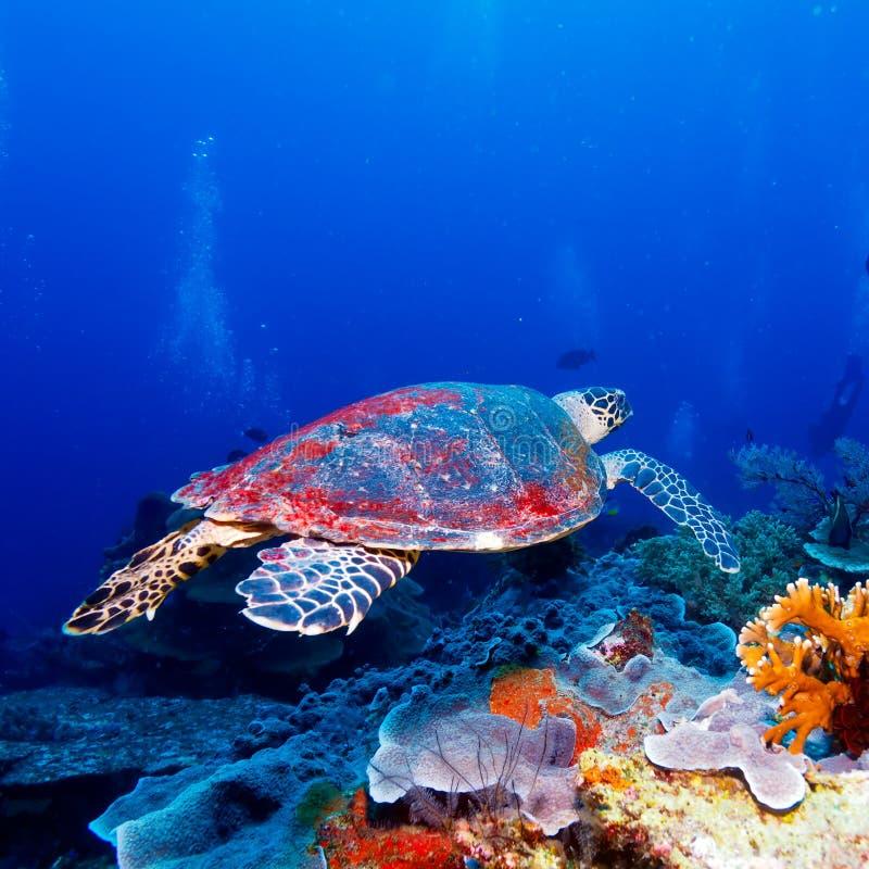 Sköldpadda för grönt hav nära korallreven, Bali arkivfoton