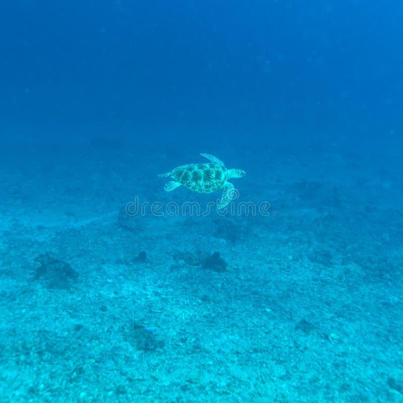 Sköldpadda för grönt hav nära korallreven, Bali royaltyfri bild