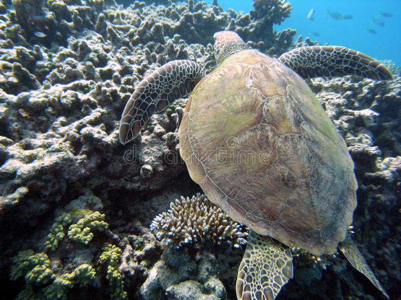 sköldpadda för korallrevhav royaltyfri foto