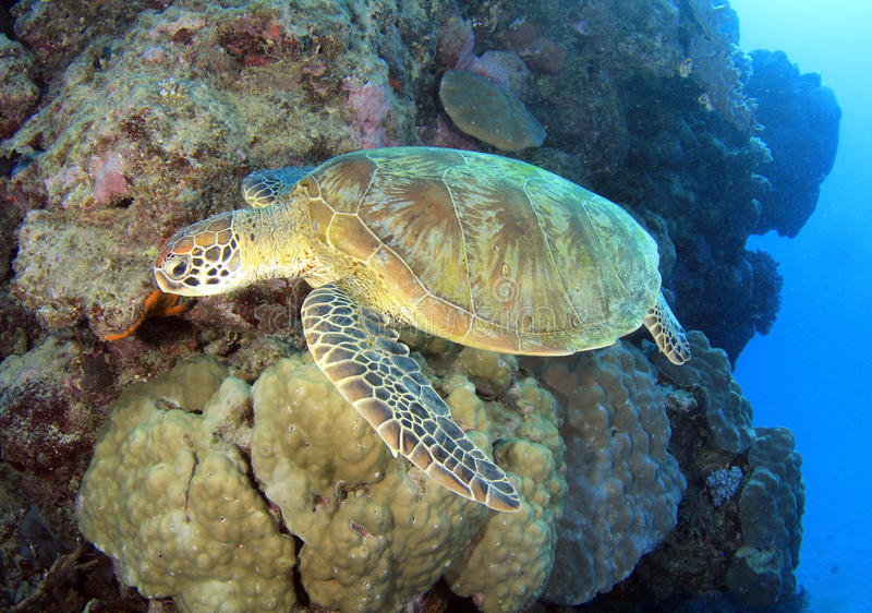 sköldpadda för rev för green för Australien barriärrösen utmärkt arkivbild