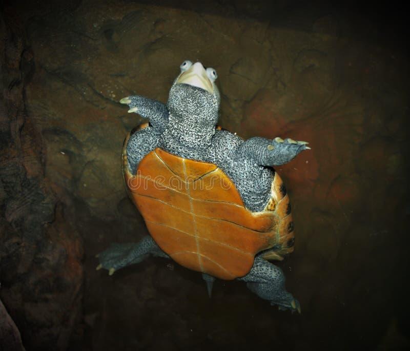Sköldpadda för simningDiamondbacksumpsköldpadda arkivbilder