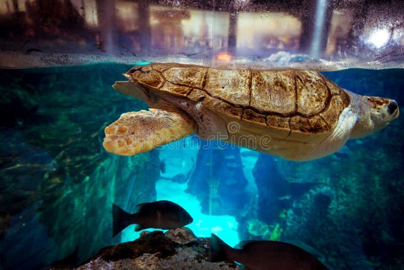 Sköldpadda i det Istanbul akvariet arkivfoton