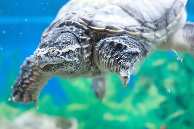 Sköldpadda i ett akvarium royaltyfria bilder