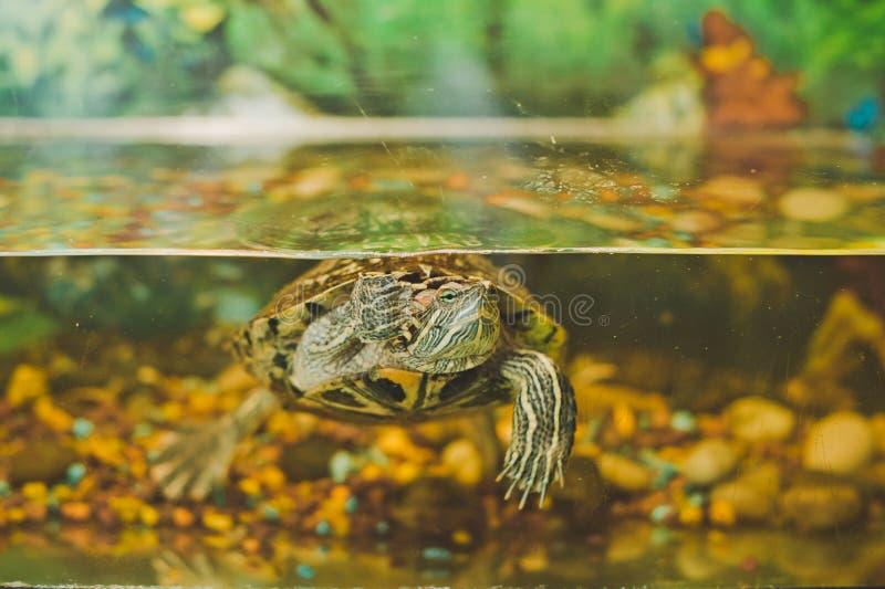 Sköldpadda i ett akvarium 2349 royaltyfria foton
