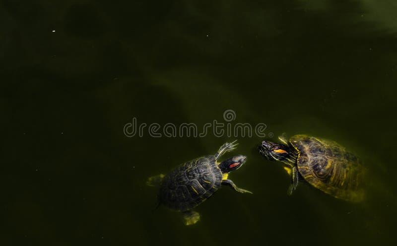 Sk?ldpadda i ett damm med fisken royaltyfria bilder