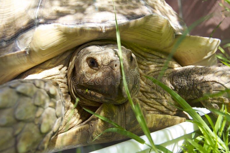 Sköldpadda i gräset royaltyfri fotografi