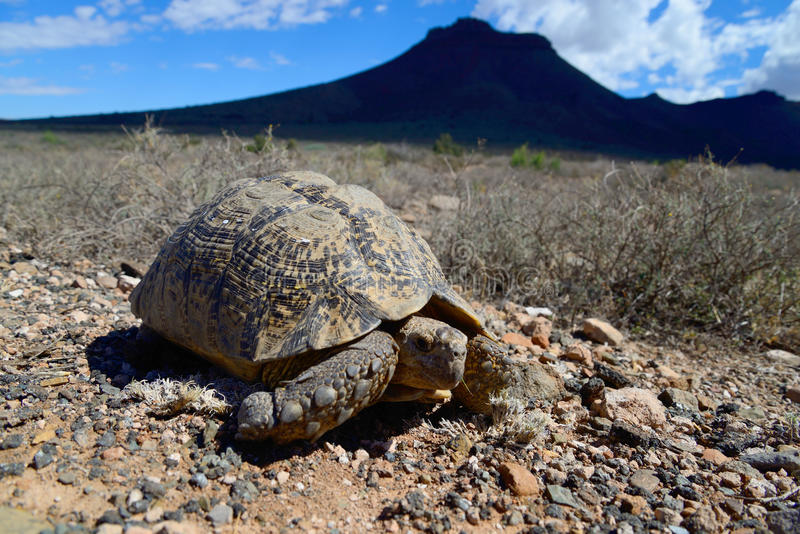 Sköldpadda i Karoonationalpark arkivbilder