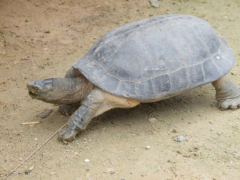 Sköldpadda i pölen i Thailand arkivfoton