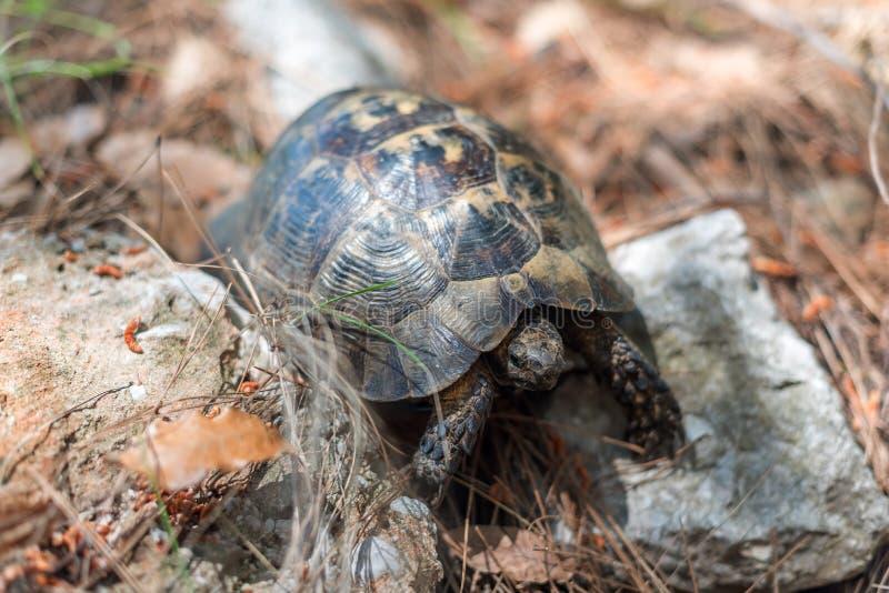 Sköldpadda i Turkiet, Asien minderårig arkivfoton