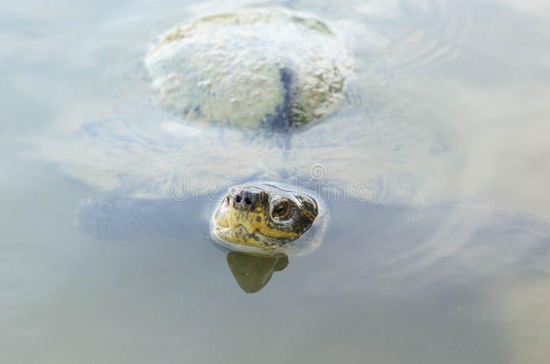 Sköldpadda i vattnet royaltyfri fotografi